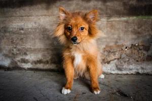 filhote de cachorro pomeranian foto