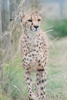 guepardo rondando foto