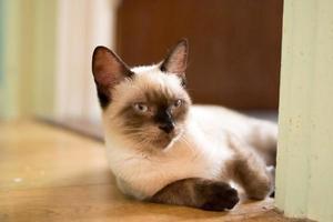 gato de chocolate birmanês olhando para a câmera foto