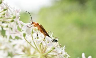 besouro soldado em uma flor foto