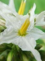 baga de peru flor foto