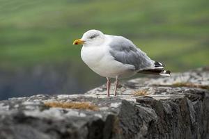 conjunto de gaivotas isolado, azul foto