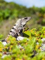 retrato de uma iguana grande foto