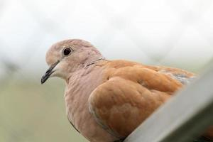 retrato de pomba colarinho da Eurásia foto