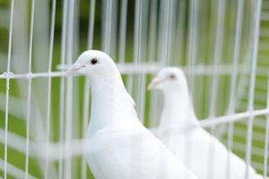 duas pombas de casamento foto