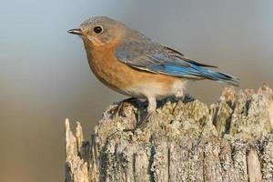 pássaro azul oriental foto