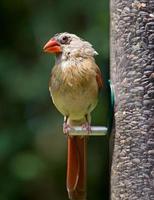 cardeal feminino empoleirado no alimentador de pássaros foto