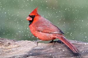 Cardeal em uma tempestade de neve foto