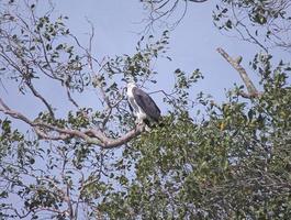 águia de barriga branca empoleirada na copa de árvore foto