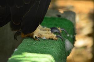 garras da águia americana foto