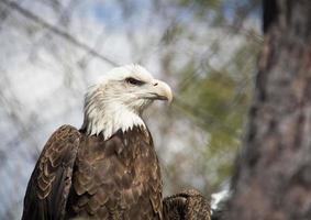 águia enjaulada foto