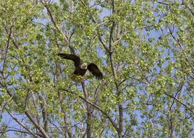 águia decolar foto