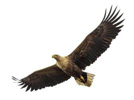 águia do mar de cauda branca foto