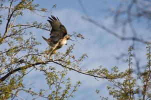 Falcão de cauda vermelha, voando