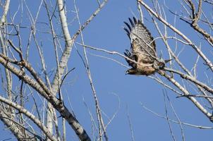 Falcão de cauda vermelha voando entre as árvores