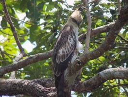 águia falcão juvenil com crista (mutável) empoleirada em uma árvore foto