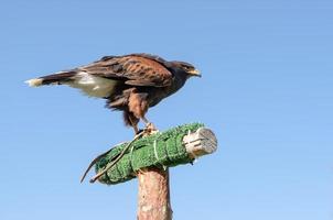 águia no céu azul foto