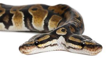 close-up de duas cabeças python real foto