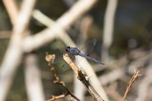 mosca dragão foto