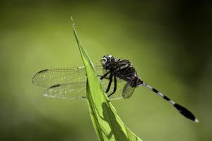 libélula em uma folha