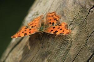 borboleta vírgula foto