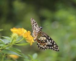 borboleta voar na natureza da manhã. foto