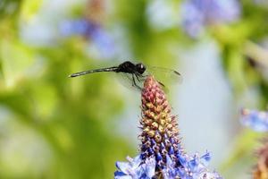 mosca dragão na flor roxa foto