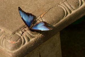 borboleta azul morpho no banco foto