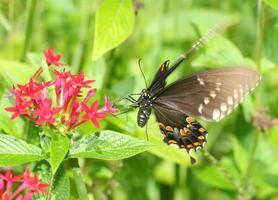 borboleta rabo de andorinha em flor foto
