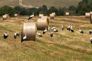 campo com fardos e cegonhas brancas foto