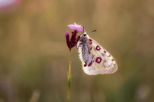 borboleta apollo vermelha foto