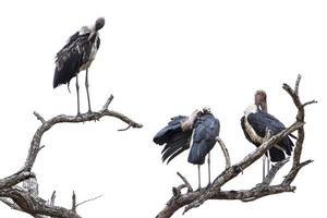 cegonha de marabu no parque nacional kruger