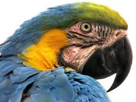 papagaio, animal, animais foto