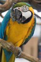 papagaio arara foto
