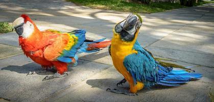 papagaios coloridos foto