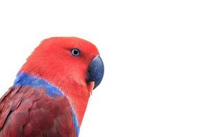 eclectus red foto