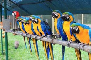 arara papagaio foto