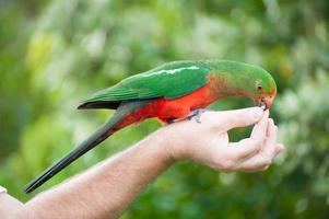 papagaio-rei foto
