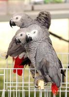 lindos papagaios cinza africanos foto