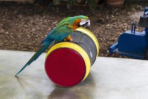 papagaio em um barril foto