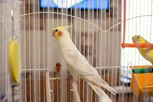 papagaio corella em uma gaiola foto