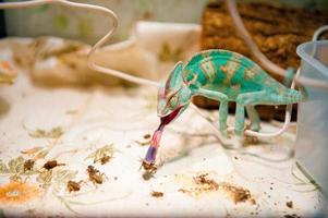 um camaleão em busca foto