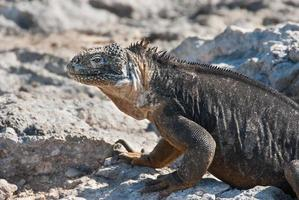 iguanas da terra de galápagos