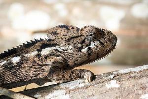 camaleão grande close-up foto
