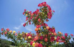 belo arbusto de rosas em um fundo de céu azul foto