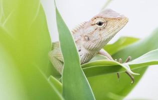 agamidae no verde folhas closeup (frente direita) foto