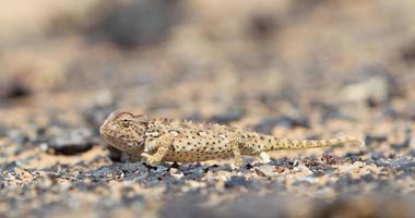 camaleão namaqua caça no deserto do namibe foto