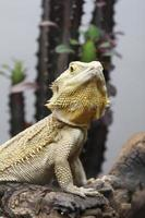 belo espécime de iguana foto