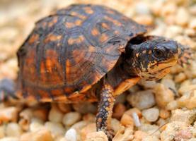 tartaruga pequena caixa foto