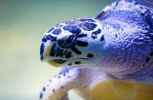 tartaruga nadando foto
